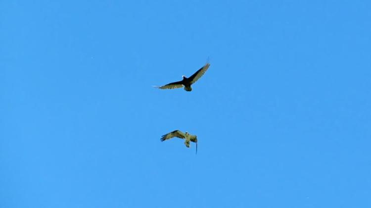 Osprey and Buzzard 018