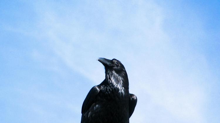 Noble Raven 031.jpg