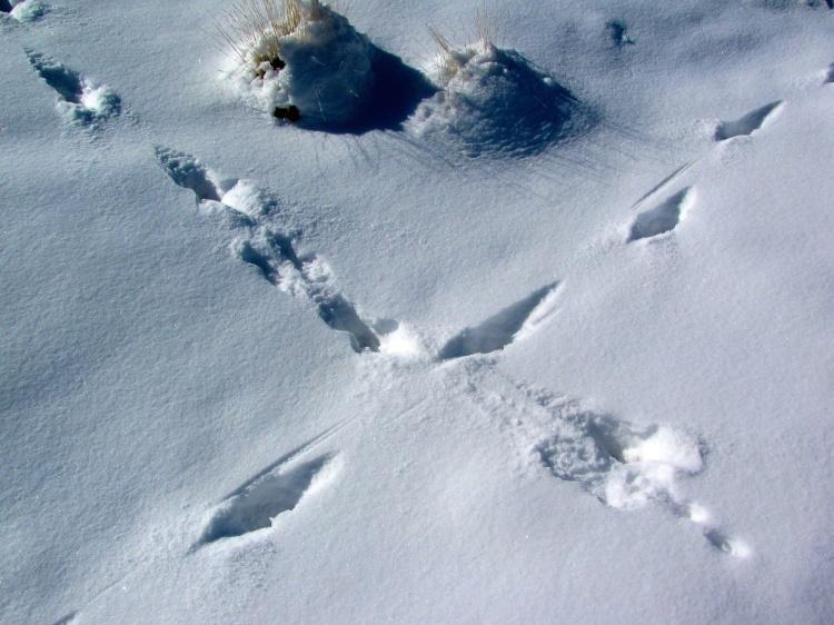 Coyote Winter Crossing 041.jpg