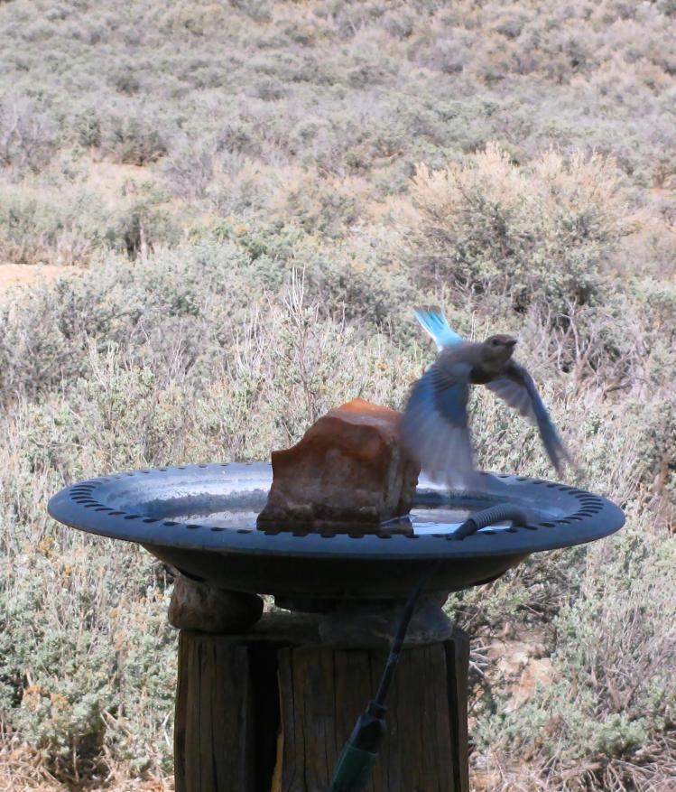 Bluebird 051.jpg